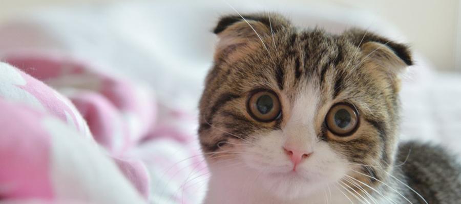gatto scottish fold